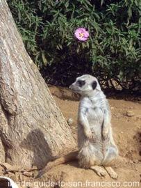 san francisco zoo, meerkat photos