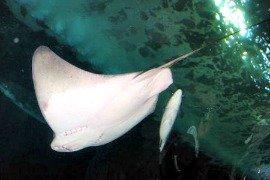 pier 39, aquarium of the bay, bat ray