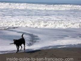 fort funston, dog in surf