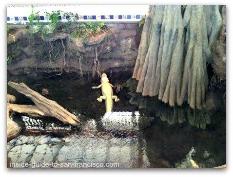claude, albino alligator, steinhart aquarium, san francisco