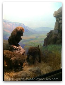 baboons at the natural history museum, san francisco