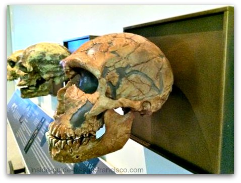 hominid skull, natural history museum, san frnacisco