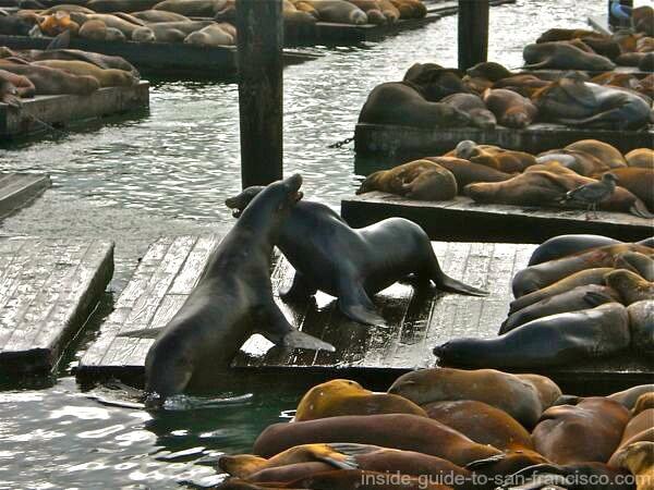fishermans wharf san francisco sea lions battle