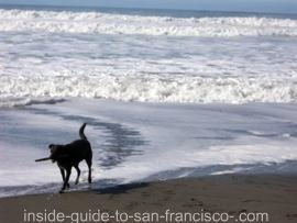 fort funston, dog in surf
