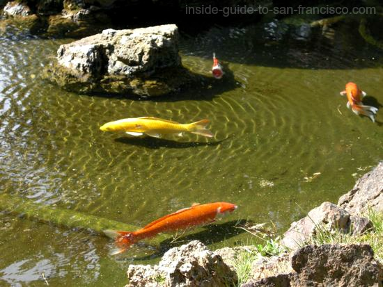 koi swimming in tea garden pond