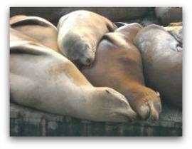 sea lions thumbnail