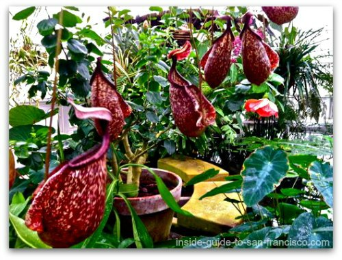 carnivorous pitcher plants, san francisco conservatory of flowers