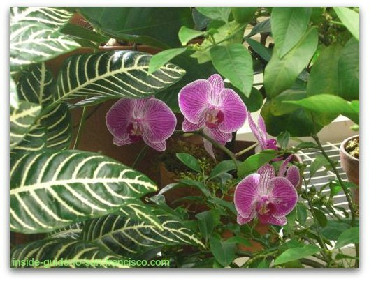 purple orchid, san francisco conservatory of flowers