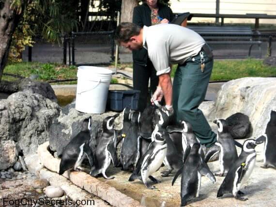 san francisco zoo, penguin feeding