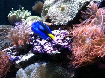 sf bay reef fish, aquarium fo the bay