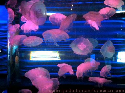 steinhart aquarium jellyfish