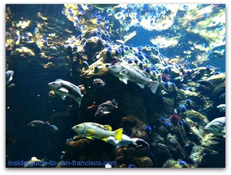 northern california reef, steinhart aquarium, san francisco