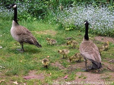 geese with goslings, stow lake, golden gate park