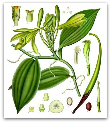 drawing of vanilla plant