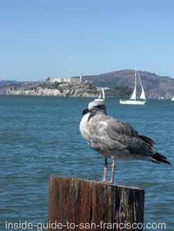 view of alcatraz, seagull at fishermans wharf