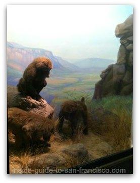 baboons at the natural history museum, san francisco
