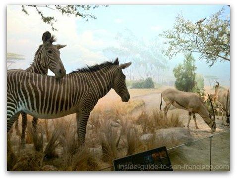 zebras at the natural history museum, san francisco