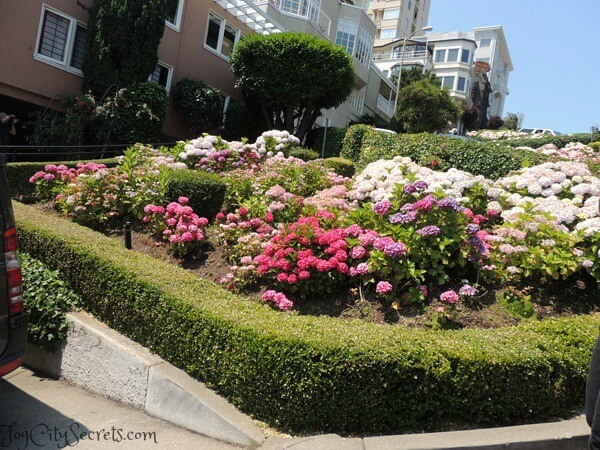 Hydrangeas blooming on Lombard Street