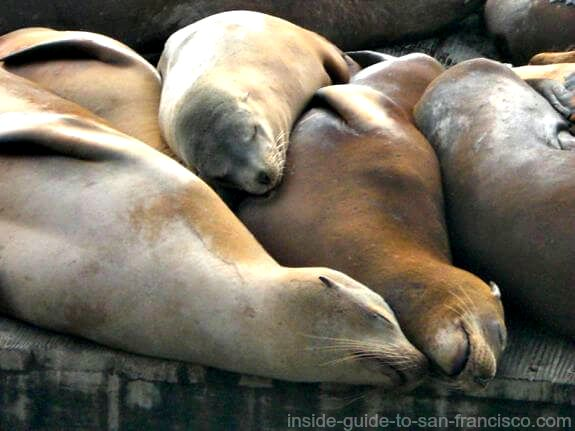 pier 39 san francisco, sleeping sea lions
