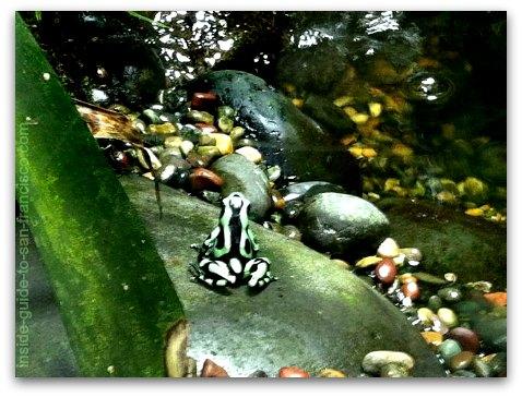 poison dart frog, rainforest, california academy of sciences