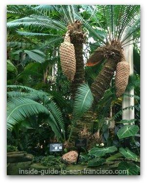 primitive gymnosperm, san francisco conservatory of flowers