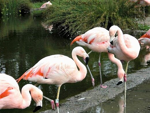 san francisco zoo flamingos