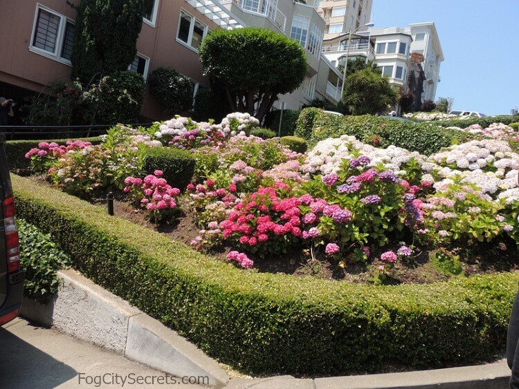 Blooming Hydrangea bushes on Lombard Street, San Francisco