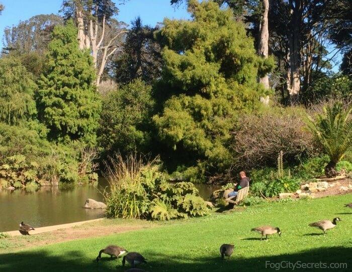 Geese at Waterfowl Pond, San Francisco Botanical Garden