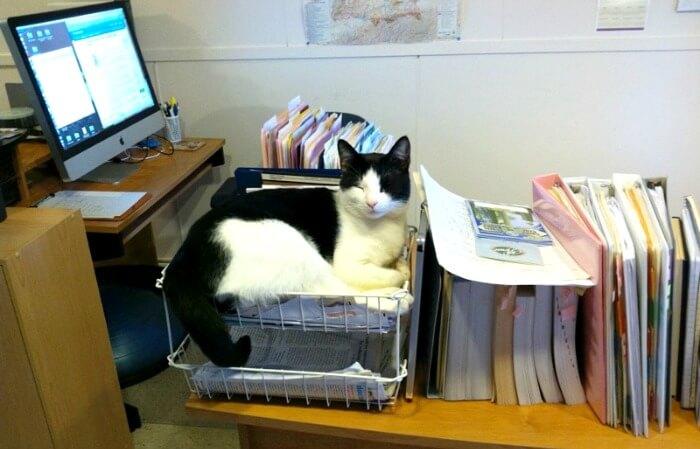 Tuxedo cat sleeping in in basket, home office