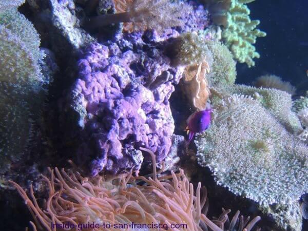 Purple coral at the SF Aquarium of the Bay at Pier 39