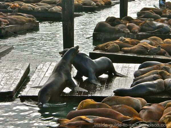 Sea lions struggling for a place on the dock at Pier 39 SF