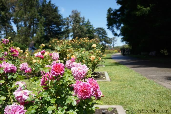 pink and yellow roses blooming, rose garden, golden gate park