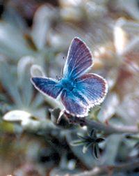 Mission Blue Butterfly, Twin Peaks