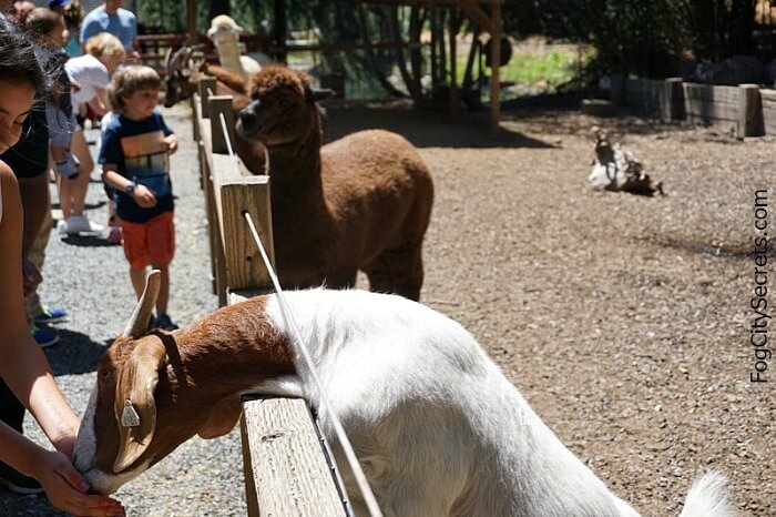Goats and llamas at Train Town petting zoo