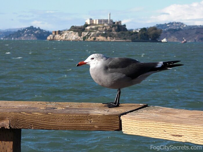 Pier 39 San Francisco, view of Alcatraz with seagull