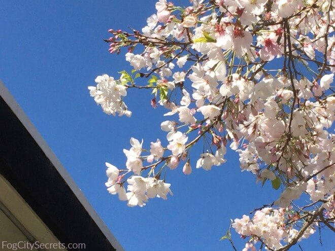cherry blossoms blooming in san francisco japantown