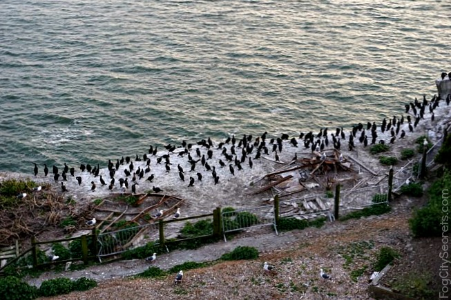 Cormorants nesting, April on Alcatraz, night tour