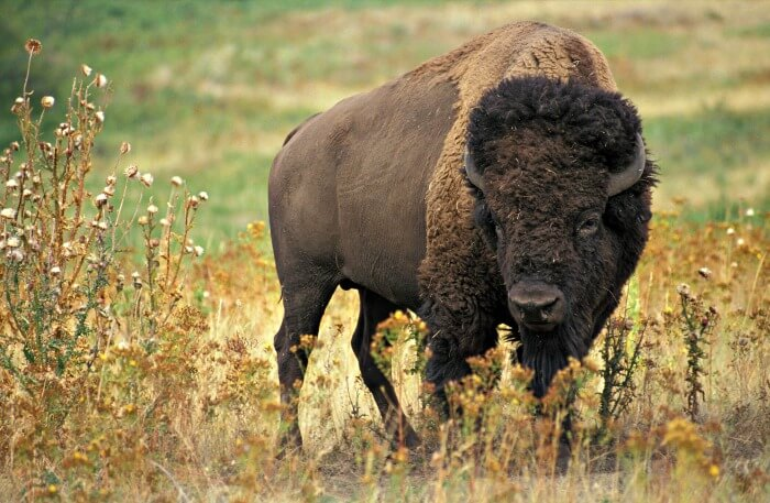 American bison in field of dry grass.