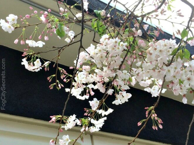 Cherry blossom branch, Peace Plaza, Japantown SF
