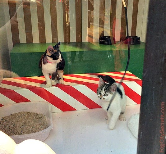 Kittens for adoption, Macy's window, San Francisco