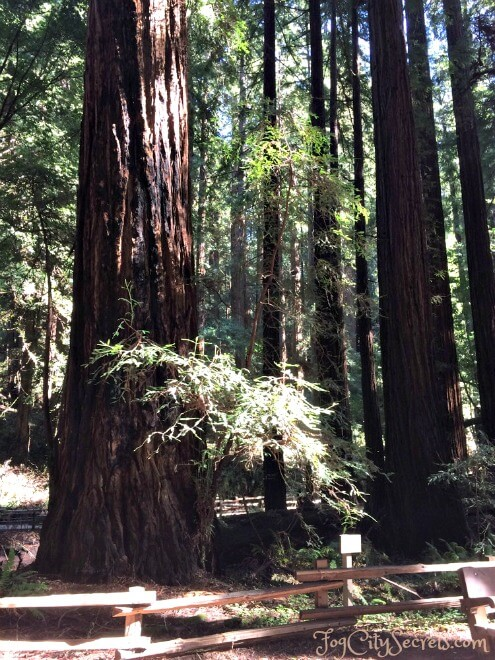 redwoods in muir woods, bohemian grove