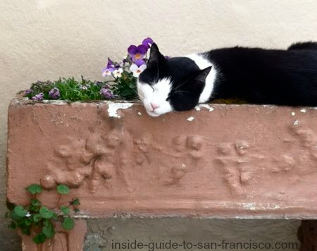 Tuxedo cat sleeping in a planter box with purple pansies.